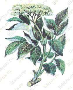 Лекарственные растения Бузина черная